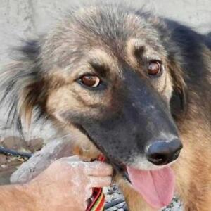 "Adult Female Dog - German Shepherd Dog-Golden Retriever: ""YANA"""
