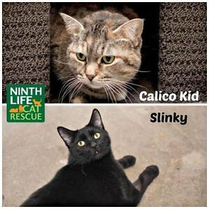 "Adult Female Cat - Domestic Short Hair: ""Calico Kid & Slinky"""