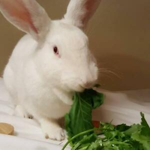 "Adult Female Rabbit - New Zealand: ""Snowberry"""