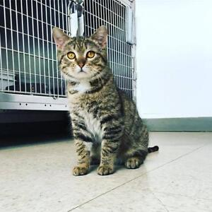 "Young Male Cat - Domestic Short Hair: ""Elliot"""