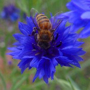 FLOWER CORNFLOWER CENTAUREA CYANUS BLUE BOY 1200 FINEST SEEDS
