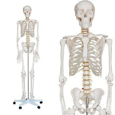 Anatomie Skelett Modell 180cm Lebensecht 5 Rollenständer  für med. Ausbildung