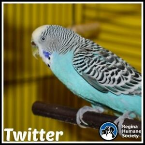 "Adult  Bird - Budgie / Budgerigar: ""Twitter"""