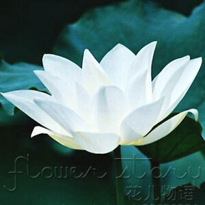 10-Seeds-Pure-White-Lotus-Seeds-China-Rare-Fragrance-Water-Plants