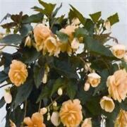 Trailing Begonia