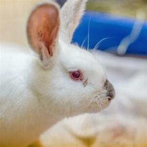 "Young Female Rabbit - Californian: ""Louise"""