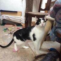 "Adult Male Cat - Domestic Short Hair-black and white: ""George"""
