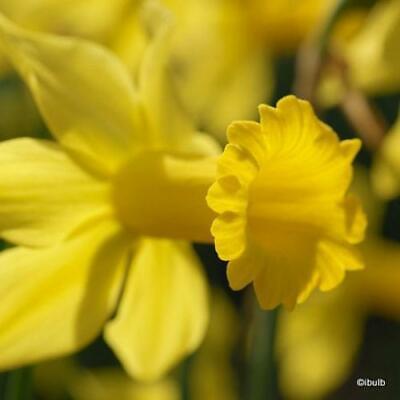 250 Daffodil Bulbs 'February Gold' Dwarf Species Narcissi. Bulk Bulbs
