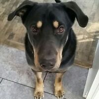 Pet Sitting Wanted - Seeking Dog Walker For One Year Old Lab Mix