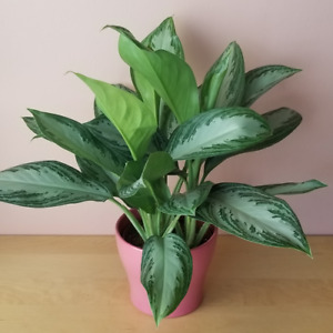 Aglaonema / Indoor Plants / Houseplants
