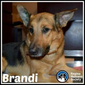 "Adult Female Dog - German Shepherd Dog: ""Brandi"""
