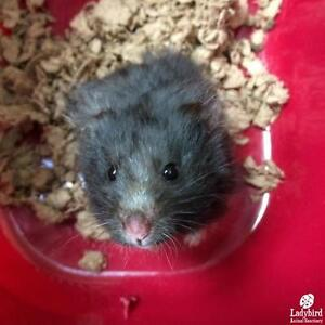 "Baby Female Small & Furry - Hamster: ""Ruffles"""