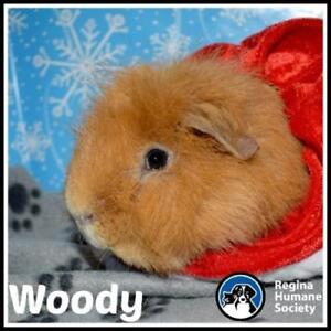 "Young Male Small & Furry - Guinea Pig: ""Woody*"""