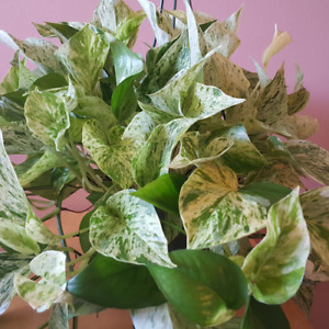 Marble Queen / Pothos / Indoor Plants / Houseplants