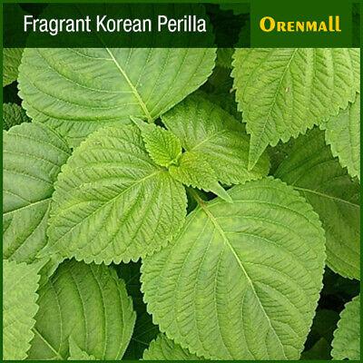 500 Fragrant Korean Perilla Seeds(Subdivision), Vegetable Seed