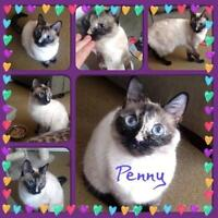 "Adult Female Cat - Exotic Shorthair: ""Penny"""