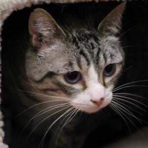 """Adult Male Cat - Domestic Short Hair: """"Purrfecto"""""""