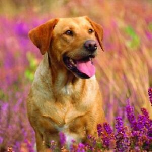 'Amongst the Heather' Yellow Golden Labrador dog square greetings card