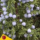 Juniper Seeds