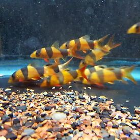 CLOWN LOACH TROPICAL FISH