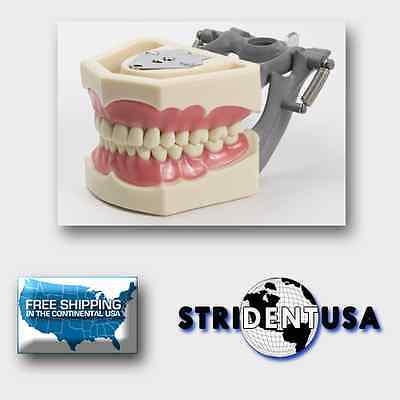 Dental Typodont Model 560 Teaching Model With Removable Ivorine Teeth