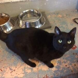 "Adult Male Cat - Domestic Short Hair: ""Midnight"""