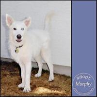 "Adult Male Dog - Shepherd-Husky: ""Murphy"""