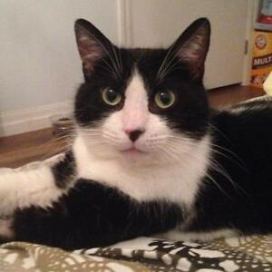 "Adult Male Cat - Domestic Short Hair-black and white: ""Zorro"""