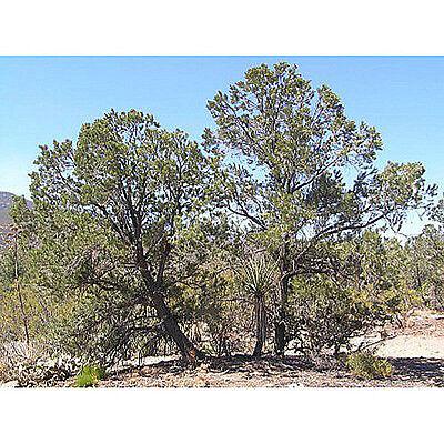 Pinyon Pine Trees (50 Singleleaf Pinyon Pine Tree Seeds, Pinus)