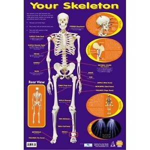 Educational-Poster-Your-Skeleton-0031