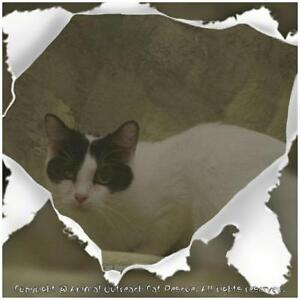 "Adult Female Cat - Domestic Short Hair-black and white: ""Cappy"" London Ontario image 2"