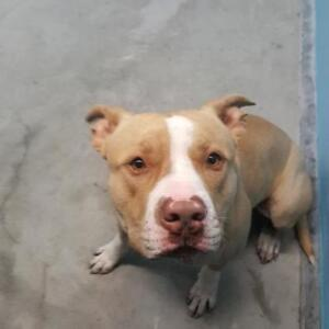 """Adult Male Dog - Pit Bull Terrier: """"Coco"""""""