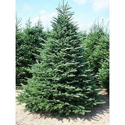 100 NORWAY SPRUCE TREE SEEDS EVERGREEN WINDBREAK PROPERTY CHRISTMAS TREE