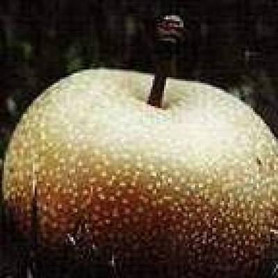 Korean Giant Asian Pear Fruit Tree Grafted
