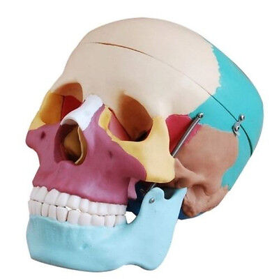 Human Skull Anatomical Anatomy Skeleton Medical Model Colored Bones Life Size
