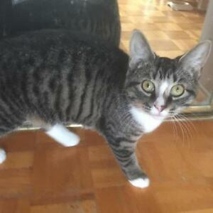 """Young Female Cat - Domestic Short Hair-Tabby: """"Mimi"""""""