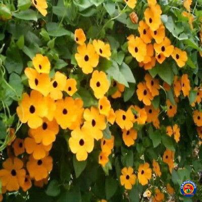 100 Black Eyed Susan Vine Thunbergia Alata Flower Seeds - COMB (Black Eyed Susan Vine)