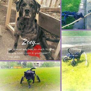 "Adult Female Dog - Catahoula Leopard Dog: ""Zoey"""