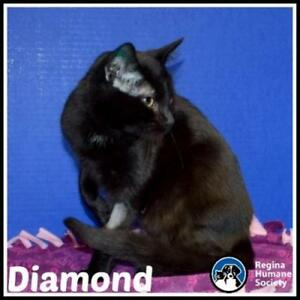 "Young Female Cat - Domestic Short Hair: ""Diamond"""
