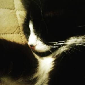 "Adult Male Cat - Domestic Long Hair (Black & White): ""Gus"""