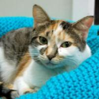 """Adult Female Cat - Calico: """"Lily"""""""