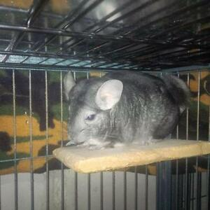 "Adult Male Small & Furry - Chinchilla: ""Dexter"""