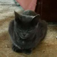 "Young Female Cat - American Shorthair-Russian Blue: ""Iris"""