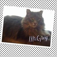 "Adult Male Cat - Domestic Medium Hair: ""Mr Gray"""