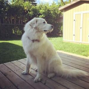 "Adult Female Dog - Great Pyrenees: ""Lucy"""