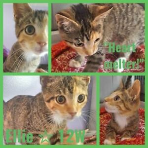 "Baby Female Cat - Tabby: ""Ellie 12 wks"""