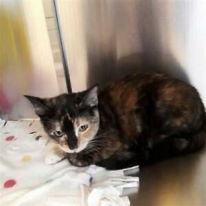 """Young Female Cat - Domestic Short Hair: """"Kitty"""""""