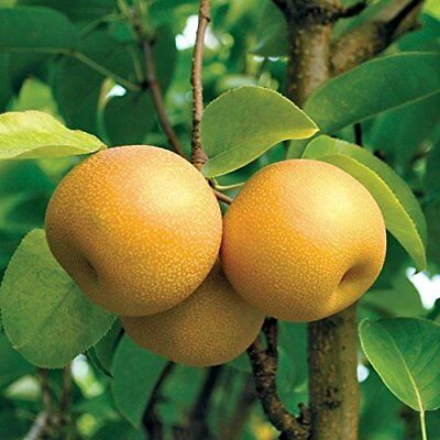 HOSUI GIANT ASIAN  PEAR TREE 9-15 INCH  FRUIT TREES LIVE PLANTS SALE TODAY - Giant Tree