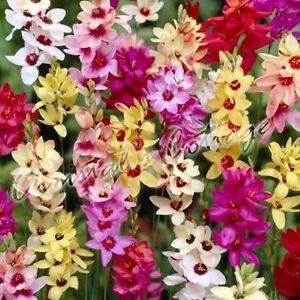 12 24 ixia corn lily bulbes plante vivace floraison for Vivace floraison hivernale