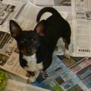 """Young Male Dog - Terrier: """"Rookie - TRIAL ADOPTION"""""""